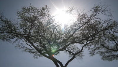 Medium wide angle sun rises and flickers through upper branches of black silhouetted thorny acacia tree