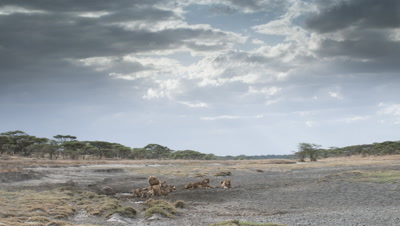 Medium wide angle pride of lions with cubs resting in dry sand river bed