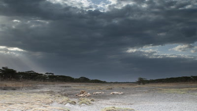 Medium wide angle pride of lions with cubs resting in dry sand river bed with storm clouds gathering then sky darkens