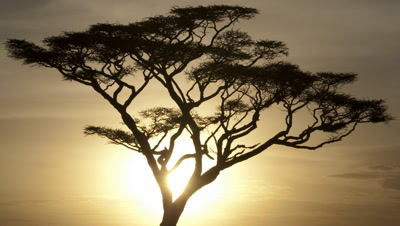 Medium wide angle sun in golden sky sets slowly behind black silhouetted acacia tree