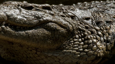 Close up nile crocodile's head and neck as water evaporates from skin