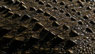 Close up nile crocodile's back as water dries on crocodile's skin