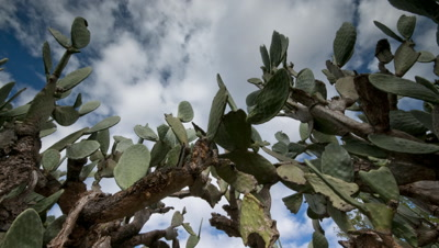Mid shot clouds in blue sky move over prickly pear -Opuntia- cactus