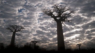 Medium wide angle blanket clouds move slowly over top of baobab -Adansonia- trees as light periodically penetrates cloud and flares out behind tree branches