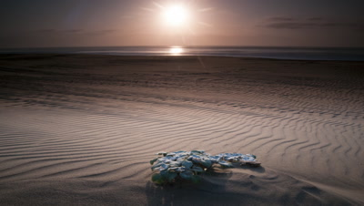 Wide angle sun rises over rippled sandy beach and out of frame featuring small pioneer plant Arctotheca populifolia in foreground