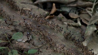 Mid shot streaming line of army ants protected on both sides by soldiers hurry across the forest floor