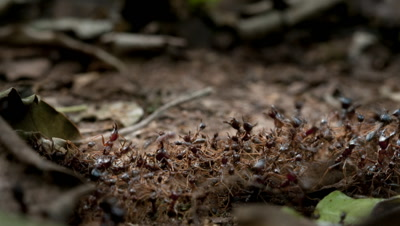 Close up organised line of army ants transporting food across forest floor