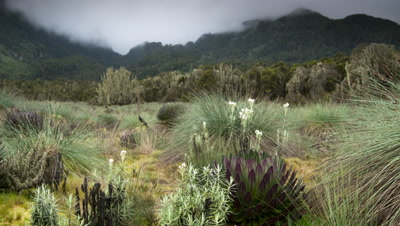 Medium wide angle pan left over foreground giant lobelia, senecios and other afro montane plants with Ruwenzori peaks beyond