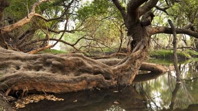 Medium wide angle tree roots submerged in Zambezi River as night falls