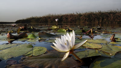 Wide angle Boteti River with foreground waterlily in closes as sun sets