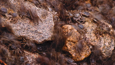 Mid shot thousands of woolly mitten crabs Eriochier sinensis flowing over rocks by the Elbe River