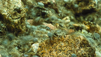 Close up of thousands of woolly mitten crabs Eriochier sinensis flowing over rocks by the Elbe River