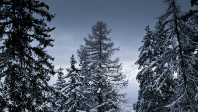 Medium wide angle clouds swirling and clearing behind snow laden fir trees revealing snow covered mountains