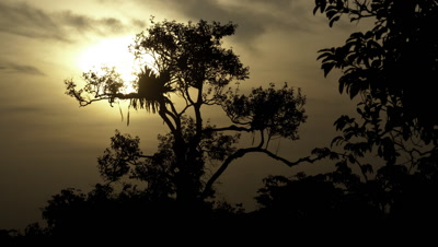 Medium wide angle sunrise over silhouetted emergent tree in rainforest canopy