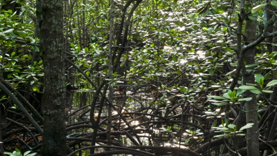 Medium wide angle tidal waters viewed through branches, trunks and roots of mangrove forest