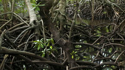 Mid shot tangle of exposed mangrove roots soon covered by incoming tide
