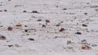 Mid shot white sandy beach with fiddler crabs moving in and out of holes as they feed and defend territories