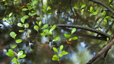Close up top shot track over mangrove seedlings with sun and sky reflecting in water