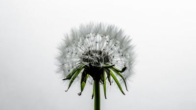 Close-up of a dandelion clock which opens fully from tight bud. Shot against a white background.