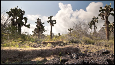 Track through cactus forest, Isabela Island, Galapagos