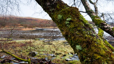 Track past silver birch trees with estury behond, Isle of Mull