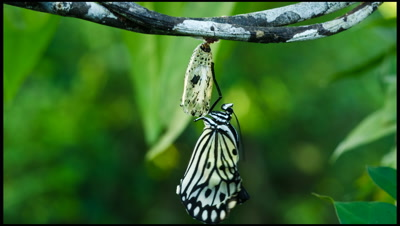 Butterfly emerges from chrysalis and expands wings, Philippines