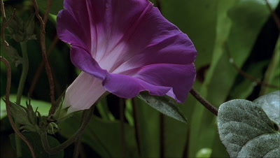 Close up Ipomoea purpurea - morning glory - flower opens from bud to bloom with green foliage