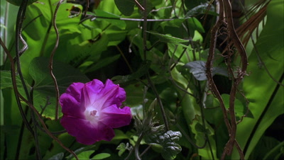 Mid shot tropical undergrowth featuring Ipomoea purpurea - morning glory - flowers blooming and dying