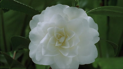 Close up Camellia japonica - White by the Gate - bud bursts into flower and fills centre frame with green foliage background
