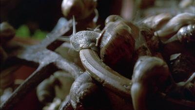 Close up brown garden snails - Helix aspersa - on lip of terracotta plant pots - matches RK 10091