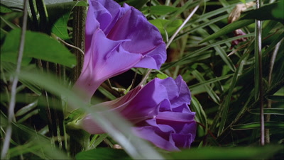 Close up 3x Ipomoea purpurea - morning glory - flowers open from bud to bloom then wither with tropical green foliage