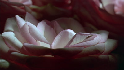 Big close up pink edged white rose bloom petals wither and curl with other petals in behind