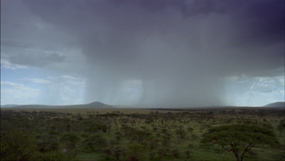 Wide angle grassland and acacia woodland with dark boiling clouds which become dramatic sweeping rain showers
