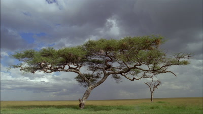 Medium wide angle cloudy sky with acacia tree and racing clouds overhead coming to camera