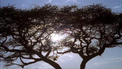Medium wide angle looking up through top of acacia tree to blue sky, racing clouds and flaring tracking sun through branches, then sun sets