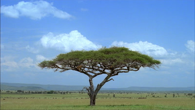 Wide angle acacia tree with 2 lions in lower branches, classic savannah landscape and wildebeest. One lion gets down and leaves.
