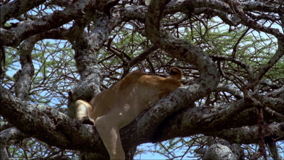 Mid shot lion sleeping in lower branches of acacia tree -matches RK10062