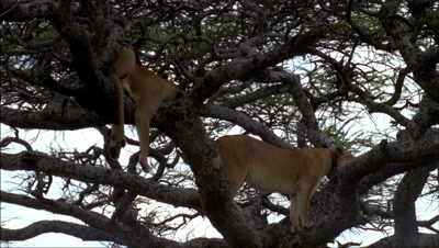 Mid shot 2 lions sleeping in lower branches of acacia tree -matches RK10062 and 63