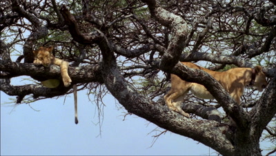 Mid shot 2 lions sleeping in lower branches of acacia tree -matches RK10062 and 63 and 64