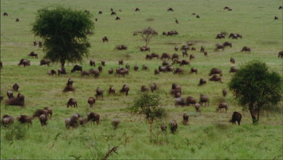 Wide angle looking down on herds of wildebeest grazing and moving over grasslands