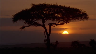 Medium wide angle classic orange African sunrise with silhouetted acacia tree, comes up out of black, with milling wildebeest