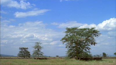 Low wide angle wildebeest milling around scrubby acacia bushes resting in shade with weaver bird nests -matches RK 10079