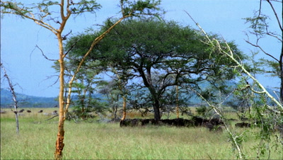 Mid shot wildebeest miling around scrubby acacia bushes resting in shade -matches RK 10078