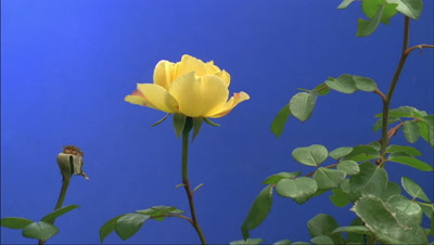 Mid shot side view single yellow rose bud -Charles Darwin- with leafy foliage opens to full bloom with blue background