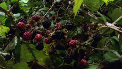 Medium close up stem of red blackberry fruit ripen to black with hedgerow foliage