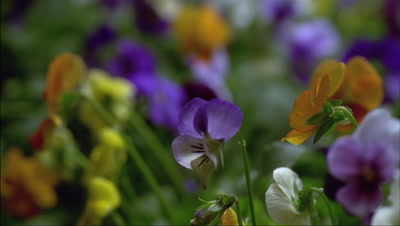Medium close up tracking shot through bed of multi coloured Viola flower heads in various stages of bloom