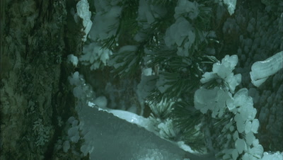 Close up ice forms on frosty green pine needles with bark and other branches