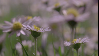 Close up daisy flowers sharp in foreground and waving out of focus behind