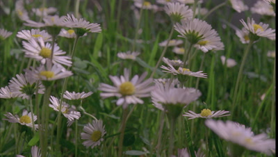 Big close up track amongst daisies as they open and close down at grass level