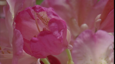 Close up soft pink rhododendron bud in centre of a group of buds opens to fill frame with petals